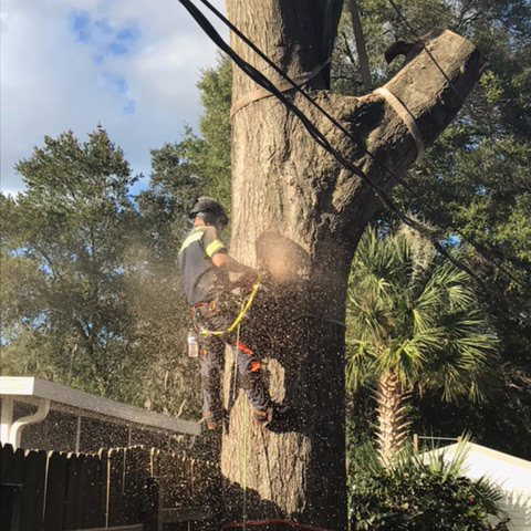tree removal in st augustine